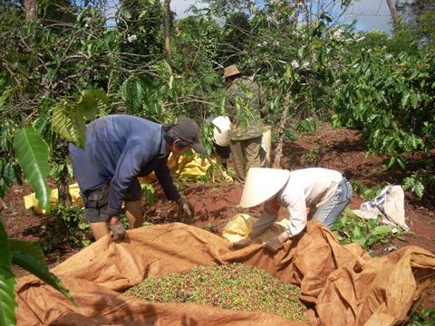 thu hoạch cà phê