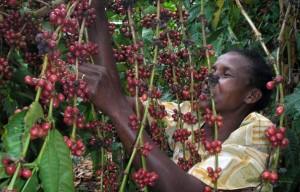 Uganda: xuất khẩu cà phê tháng 3/2013 tăng vọt lên 66%