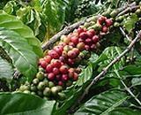 Ngành cà phê Ấn Độ lo ngại về nguồn cung lớn từ Việt Nam và Braxin