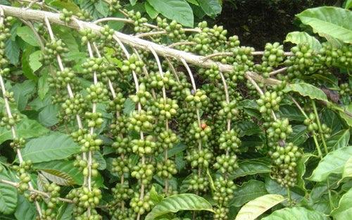 Cà phê mất giá do triển vọng được mùa