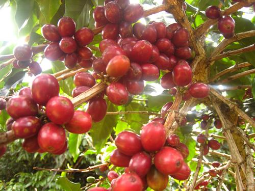 Cà phê Cầu Đất nổi tiếng