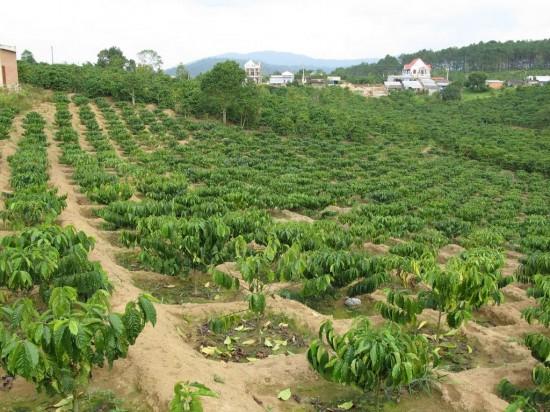 Giảm diện tích cà phê để sản xuất bền vững