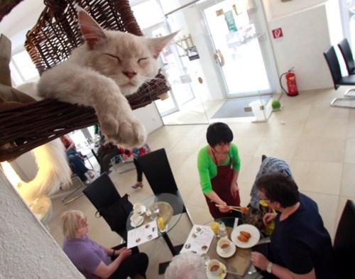 Cà phê mèo ở Áo